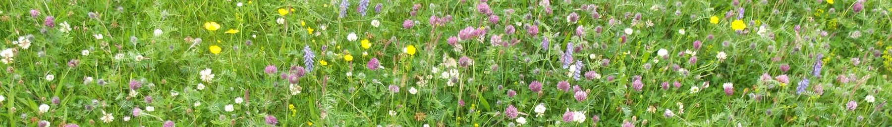 Wild flowers on the Berneray Machair in July