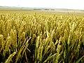 Overlooking wheat fields by Avebury Ring - geograph.org.uk - 475650.jpg