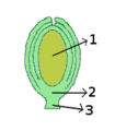 Ovule morphology orthotropous.png