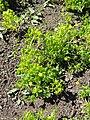 Oxalis lasiandra - Botanical Garden in Kaisaniemi, Helsinki - DSC03586.JPG