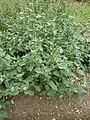 P1000544 Heliotropium europaeum (Boraginaceae) Plant.JPG