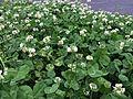 PIC 20160423 Trifolium repens.jpg