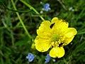 PP Na Popovickem kopci 052 Ranunculus polyanthemos.jpg
