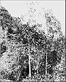 PSM V86 D038 Two cinchona trees.jpg