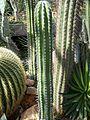Pachycereus pecten-aboriginum.JPG