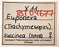 Pachycondyla succinea GZG-BST04677 tag.jpg
