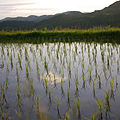 Paddy field in Japan, -5 Jun. 2012 a.jpg