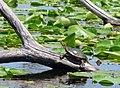 Painted Turtle (9408333505).jpg