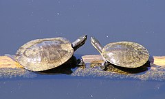 Pair of Emydura macquarii - Warrawong.JPG