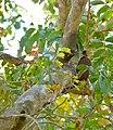 Pale-crested Woodpecker (Celeus lugubris) female (31778734875).jpg