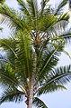 Palm tree at Hilo Bay (a0005145) - panoramio.jpg