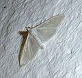 Palpita vitrealis. Crambidae. - Flickr - gailhampshire.jpg