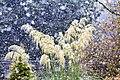 Pampas Grass (242384749).jpeg