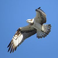 Pandion haliaetus (in flight).JPG