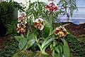 Paphiopedilum Spotted Delight - Internationale Orchideen- und Tillandsienschau Blumengärten Hirschstetten 2016 a.jpg