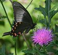 Papilio bianor and Thistle 2 2011-06-04.jpg