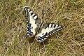 Papilio machaon - lastin repak.jpg