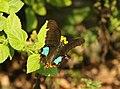 Papilio paris (36178525496).jpg