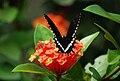 Papilio polytes1.jpg