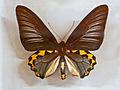 Papilionidae - Troides hypolitus.JPG