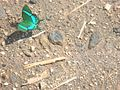 Papillon trichy.jpg