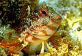 Parablenius pilicornis concurso reserva biosfera.jpg
