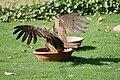 Pariah kite (18191987948).jpg