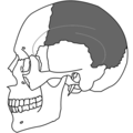 Parietal Bone Simple.png