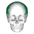 Parietal bone anterior.png