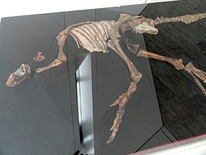 Parksosaurus - Fossil, Royal Ontario Museum