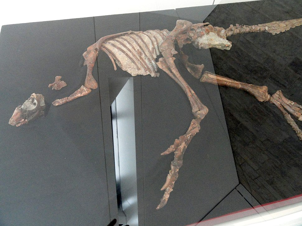 Parksosaurus warreni, Near Drumheller, Alberta, Canada, Late Cretaceous - Royal Ontario Museum - DSC00035