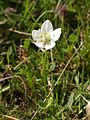 Parnassia palustris parc-du-marquenterre 80 01102006 5.JPG
