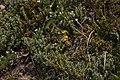 Parnassius phoebus 3430.JPG