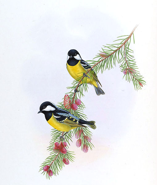 Two Yellow Bellied Tits