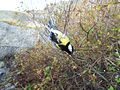 Parus major in ringing net of Landsort Bird Observarory-5.JPG