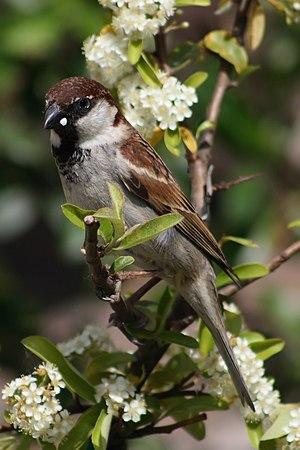 Italian sparrow - Male in Tuscany