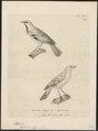 Passer lichtensteinii - 1700-1880 - Print - Iconographia Zoologica - Special Collections University of Amsterdam - UBA01 IZ16000121.tif