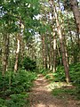 Path through the pines at Lower Street, Southrepps - geograph.org.uk - 510120.jpg