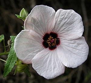Pavonia (plant) - Pavonia hastata