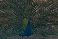 Peacock at Arignar Anna Zoological Park (Vandalur Zoo).jpg