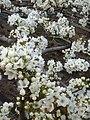 Pear FlowerA.jpg
