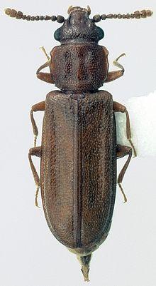 Cucujidae Wikipedia