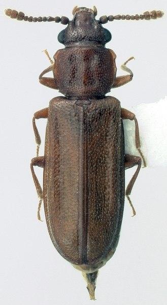 Pediacus subglaberMontage