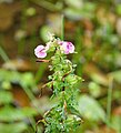 Pedicularis palustris - Marsh Lousewort (25260511907).jpg