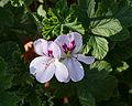 Pelargonium White Unique.jpg