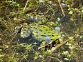 Pelophylax ridibundus -Rainham Marches, near Purfleet, Essex, England-8.jpg