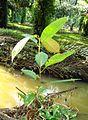 Pepohonan di semak belukar (23).JPG