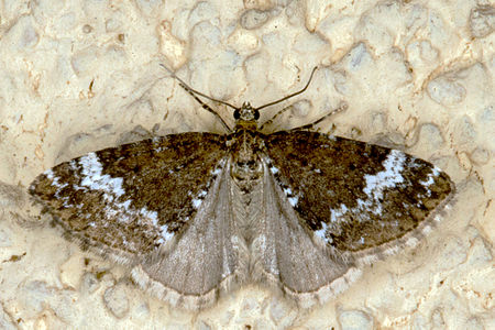 Perizoma alchemillata, Lodz(Poland)02(js).jpg
