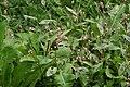 Persicaria maculosa ENBLA07.jpeg