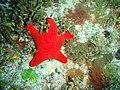 Petricia vernicina Cushion star P1021140.JPG
